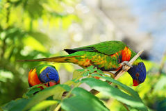 Lorikeets Stock Photos