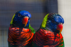 Lorikeets. Two rainbow lorikeets in the zoo Stock Photo