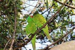 2 Lorikeets verde Fotografia de Stock Royalty Free