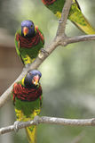 Lorikeets Verde-naped Fotografia Stock