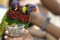 Lorikeets Vert-naped Images libres de droits