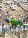Lorikeetvogel stock foto