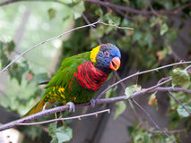 Loriquet parrot talkin Stock Photography