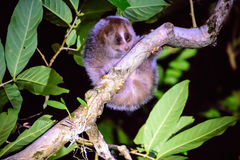 Loris lent dans la nuit Photo stock