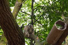 Loris lento che gioca su un albero Immagine Stock