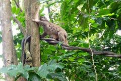 Loris lento que joga em uma árvore Foto de Stock