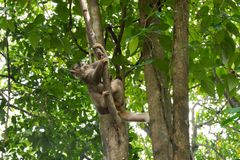 Loris lento que joga em uma árvore Fotografia de Stock Royalty Free