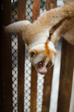 Loris is liveing inthe cage. Lorises are nocturnal and locomotion is a slow and cautious climbing form of quadrupedalism Royalty Free Stock Photos