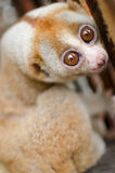 Loris is liveing inthe cage. Lorises are nocturnal and locomotion is a slow and cautious climbing form of quadrupedalism Stock Images