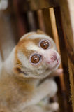 Loris is liveing inthe cage. Lorises are nocturnal and locomotion is a slow and cautious climbing form of quadrupedalism Royalty Free Stock Image