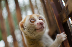 Loris is liveing inthe cage. Lorises are nocturnal and locomotion is a slow and cautious climbing form of quadrupedalism Stock Photo