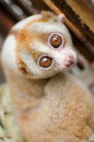 Loris is liveing inthe cage. Lorises are nocturnal and locomotion is a slow and cautious climbing form of quadrupedalism Stock Photos
