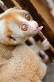 Loris is liveing inthe cage. Lorises are nocturnal and locomotion is a slow and cautious climbing form of quadrupedalism Royalty Free Stock Photo