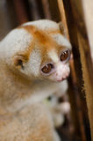 Loris is liveing inthe cage. Lorises are nocturnal and locomotion is a slow and cautious climbing form of quadrupedalism Royalty Free Stock Photography