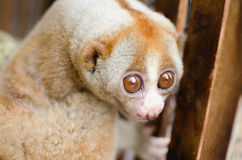 Loris is liveing inthe cage. Lorises are nocturnal and locomotion is a slow and cautious climbing form of quadrupedalism Stock Image