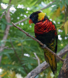 Lorius Lorikeet. Perched on a tree branch royalty free stock photos