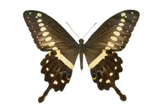 Lormieri Papilio бабочки стоковые изображения rf