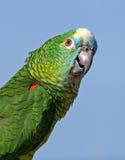 Loro afrontado azul del Amazonas Imagen de archivo