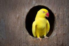 Loro amarillo Imagen de archivo libre de regalías