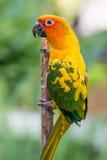Loro amarillo colorido, Sun Conure Foto de archivo libre de regalías