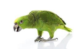 Loro Amarillo-naped del Amazonas Foto de archivo