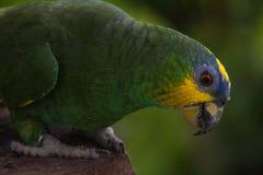 Loro azul de color verde amarillo de la selva Imagen de archivo