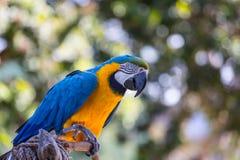 Loro azul del Macaw Foto de archivo