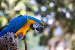 Loro azul del Macaw Imagen de archivo