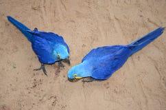 Loro azul del pájaro del macaw del jacinto imagen de archivo libre de regalías