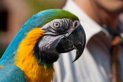 Loro azul del pecho del amarillo del ala Fotografía de archivo libre de regalías