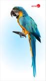 Loro azul y amarillo, macaw Ara brasileño Pájaro tropical salvaje grande, loro que se sienta en una rama de madera en un azul Imagenes de archivo