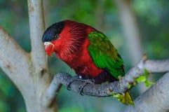 Loro brillante verde rojo en Puerto de la Cruz Imagenes de archivo
