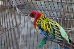 Loro coloreado en una jaula Fotos de archivo