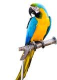 Loro colorido Fotografía de archivo libre de regalías