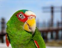 Loro colorido del Amazonas que mira el foco selectivo delantero adelante Imagen de archivo libre de regalías