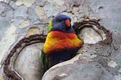 Loro colorido en el árbol Imagen de archivo