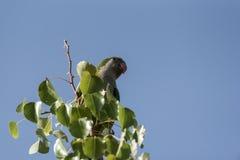 Loro de Argentina en un árbol y el cielo en fondo foto de archivo