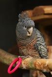 Loro de Cockatoo femenino de la Cuadrilla-Cuadrilla Imagen de archivo