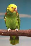 Loro de color verde amarillo Imagen de archivo libre de regalías