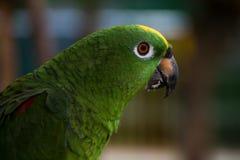 Loro de color verde amarillo de la selva Fotos de archivo