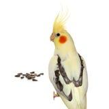 Loro de Corella con las semillas de girasol Foto de archivo libre de regalías