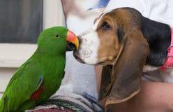 Loro de Eclectus y perro del Bassett Fotografía de archivo libre de regalías