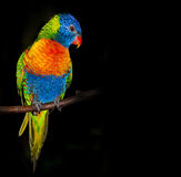 Loro de Lorikeet del arco iris Foto de archivo