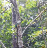 Loro de Malabar - periquito Azul-con alas - Psittacula Columboides en su hábitat natural en el parque nacional de Periyar, Kerala foto de archivo libre de regalías