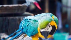 Loro de oro amarillo azul del macaw Ara Ararauna almacen de metraje de vídeo