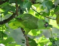 Loro del Amazonas en árbol Foto de archivo