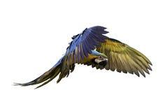 Loro del azul y del oro en vuelo Imagen de archivo libre de regalías