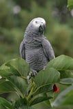 Loro del gris africano Imagen de archivo libre de regalías