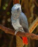 Loro del gris africano Foto de archivo libre de regalías