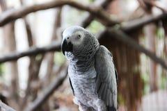Loro del gris africano de Congo Fotos de archivo